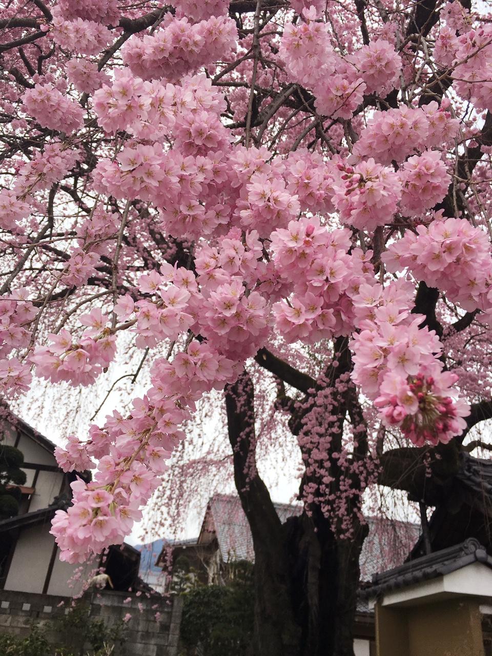 ✿開花しました✿