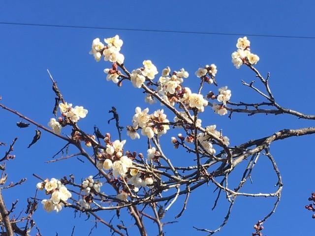 梅の花さいてました(^O^)/