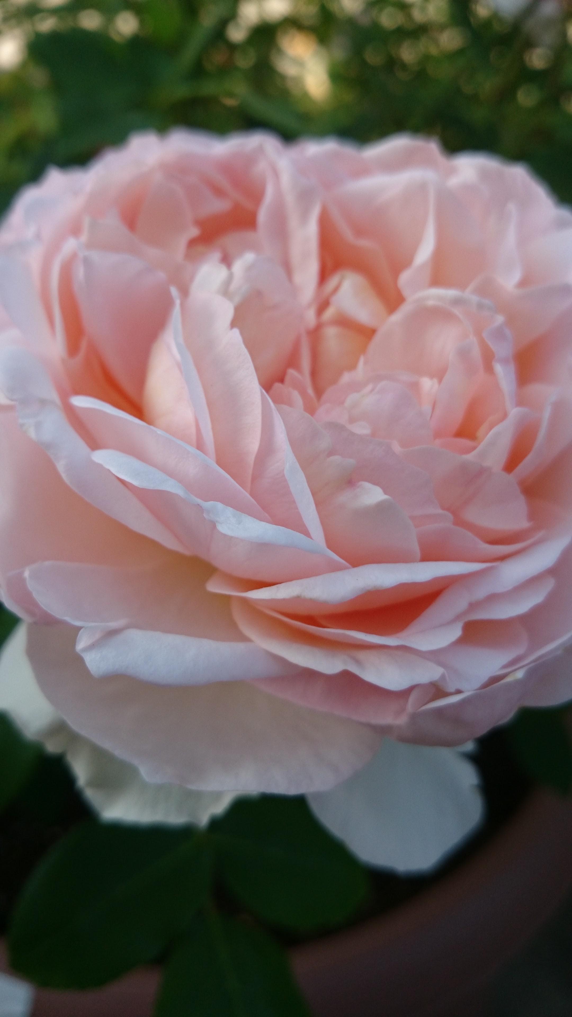 バラの季節になりました♪