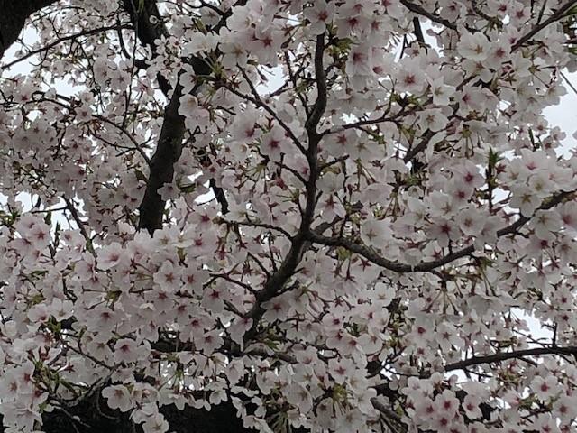 満開の桜を見ながら配布確認に行きました🌸